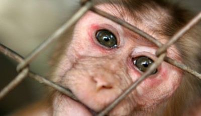 Caged monkey